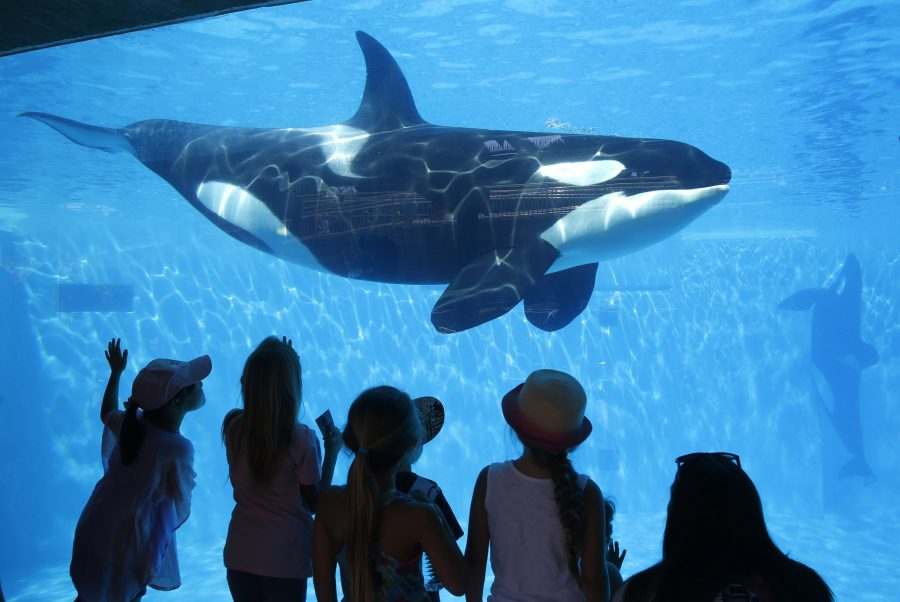 """""""Orcas are Animals"""": 6 Reasons why this Reasoning Does not Work in Favor of Mistreatment"""