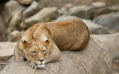 As The Lion Waits On The Hyena: a poem