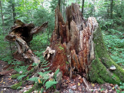 Stumps and uprooted root systems mark the deaths of big trees in West Virginia's Gaudineer Scenic Area. It is a touch of New England or Canada in the West Virginia Highlands. (Bob Downing/Akron Beacon Journal/MCT)