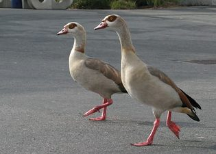 Duck, duck, Egyptian goose?